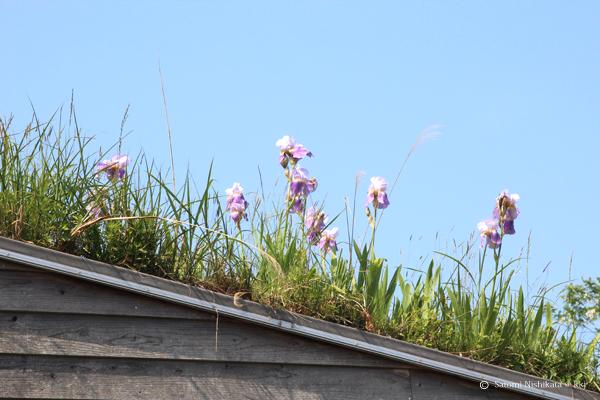 芝置屋根に生えるイチハツの花