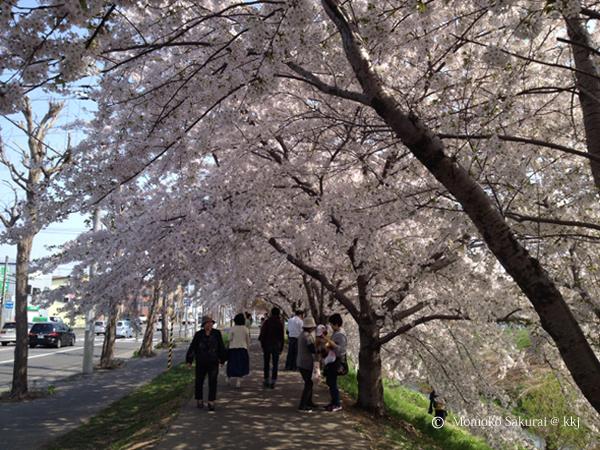 札幌市新川通りの桜並木