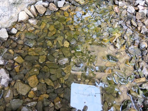 池のメダカは小石の間に隠れています。