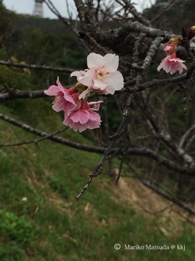 昨年12月に開花した桜
