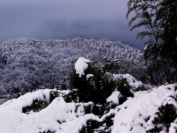 雪の重みで倒れた竹林