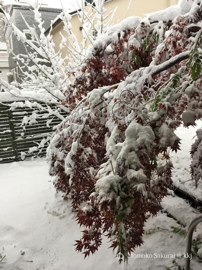 11/6 の朝 重たい雪に玄関先のノムラモミジがかわいそうなことに 折れてしまった枝もありました